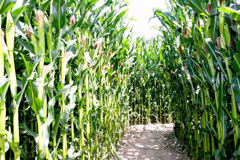 Das Maila Maislabyrinth am Bodensee ist ein tolles Ausflugzsiel für die ganze Familie