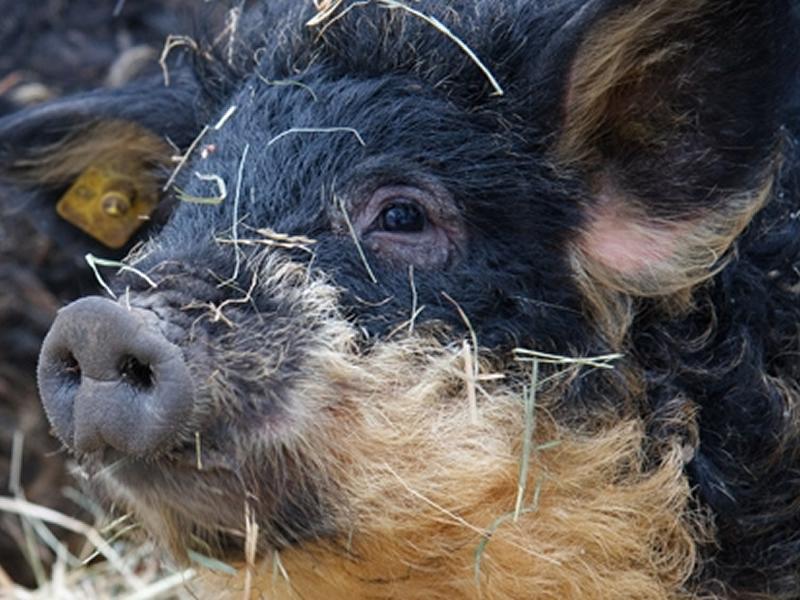 Auf dem Arche-Hof Rüegg in Ermenswil gibt es Wollschweine hautnah